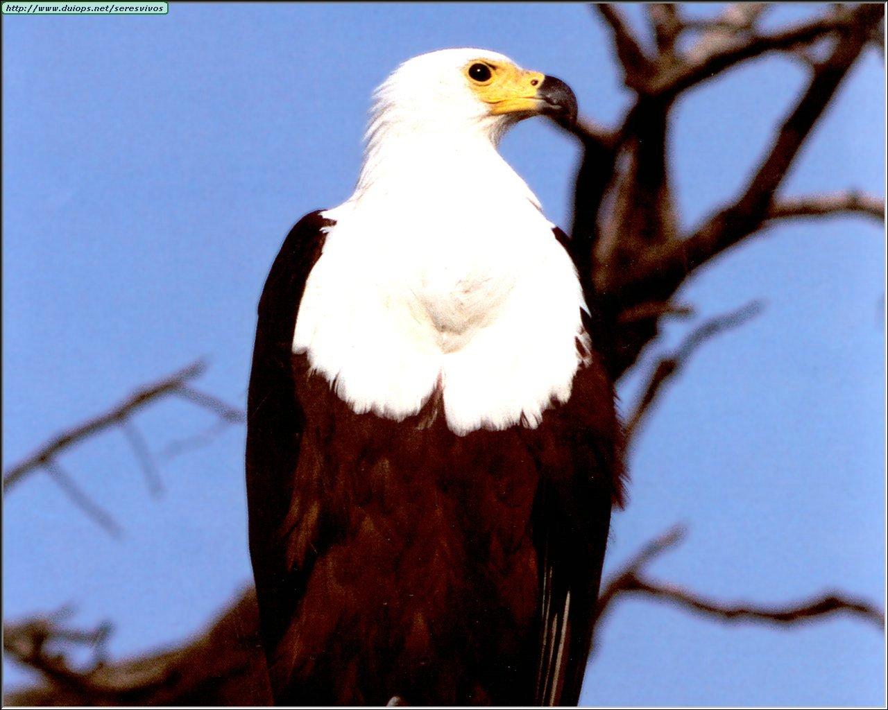 http://www.duiops.net/seresvivos/galeria/aguilas/Aguila-Blanca.jpg