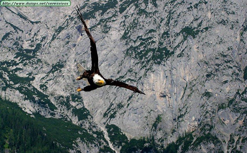 http://www.duiops.net/seresvivos/galeria/aguilas/Eagle%20in%20Flight.jpg