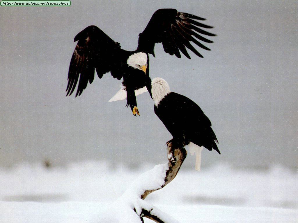 http://www.duiops.net/seresvivos/galeria/aguilas/eagles_.jpg