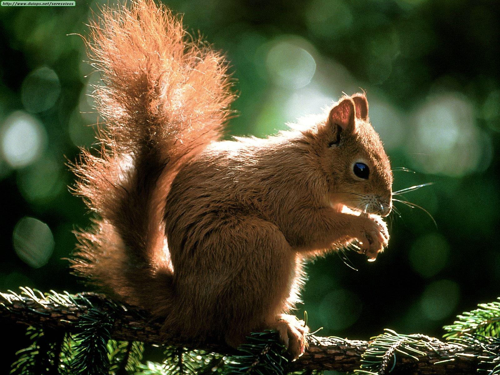 Squirrels photos | 1600 x 1200 jpeg 393kB