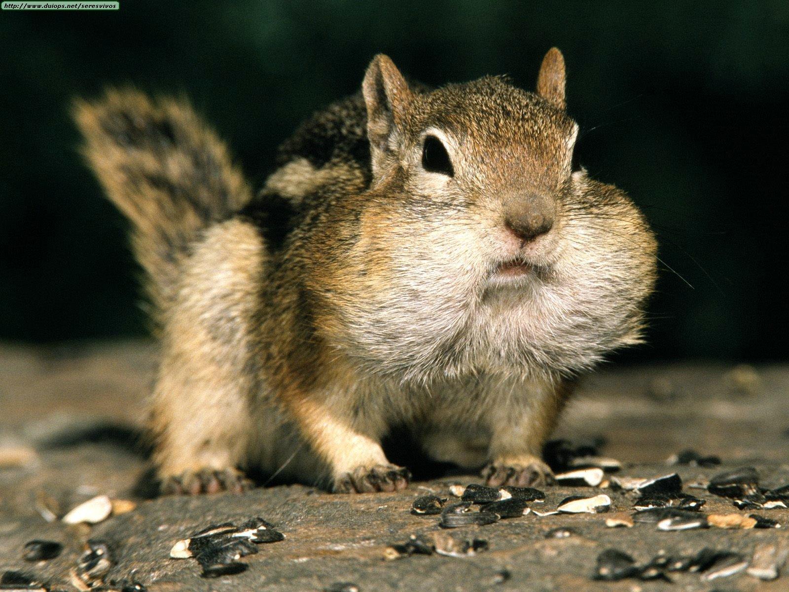 Animals Funny Golden Mantled Ground Squirrel