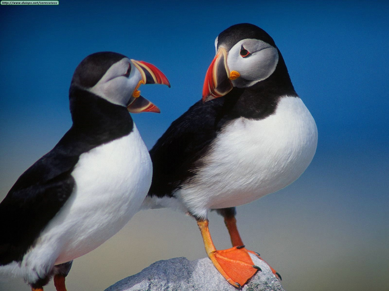 A%20Pair%20of%20Puffins.jpg