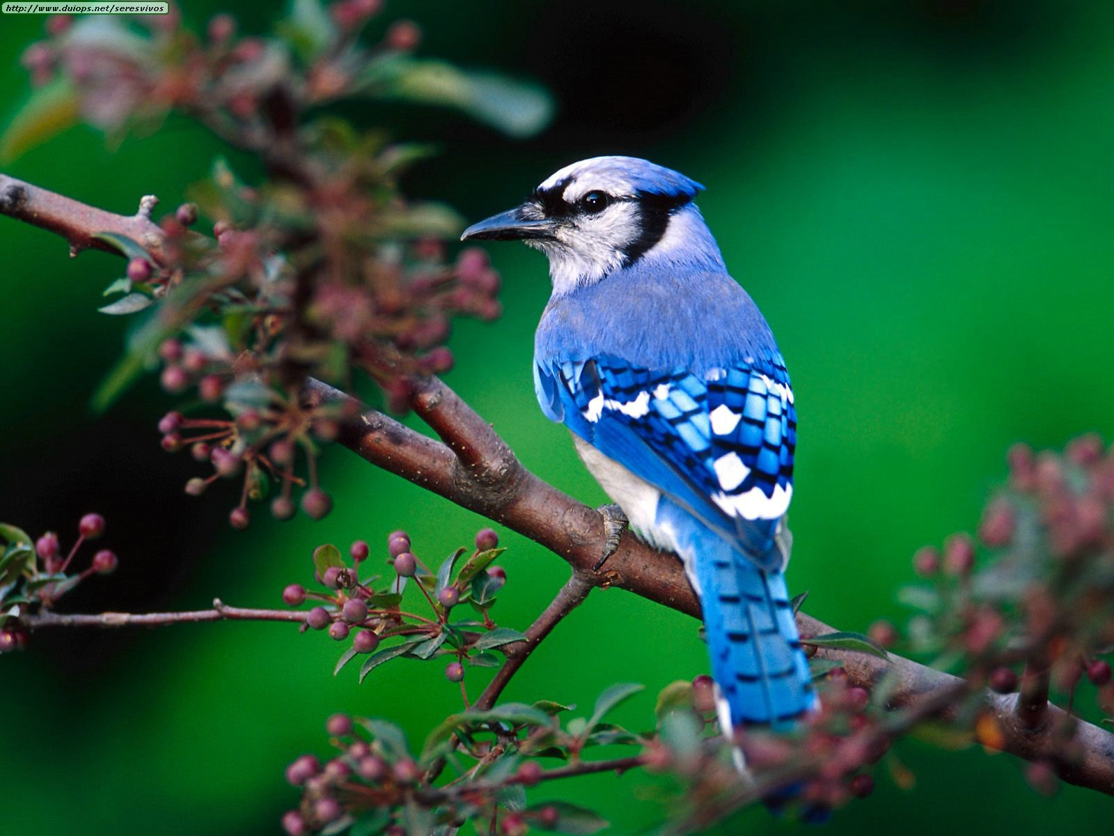 Beautiful photographs of Blue Jay bird video pic