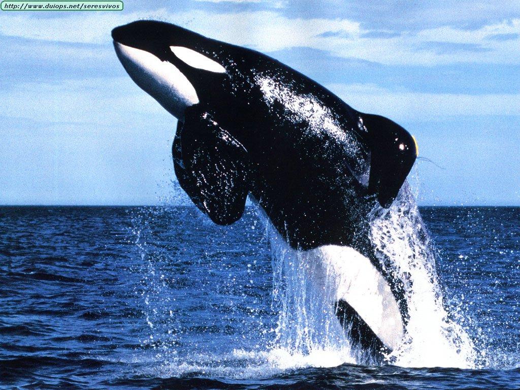 http://www.duiops.net/seresvivos/galeria/ballenas/JLM-Keiko.jpg
