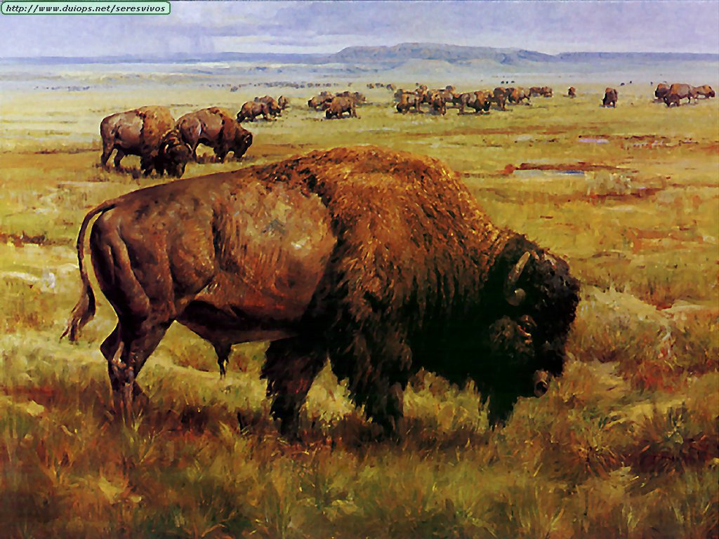 fotos de b u00fafalos y bisontes
