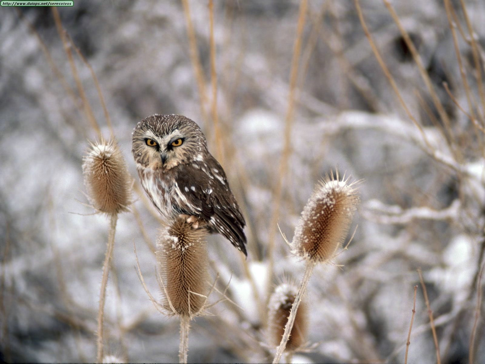 owl winter bird animal - photo #14
