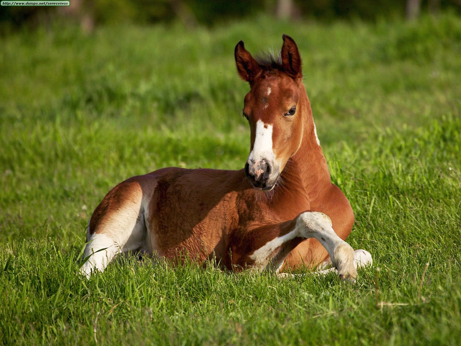 http://www.duiops.net/seresvivos/galeria/caballos/American%20Paint%20Foal,%20Iowa.jpg