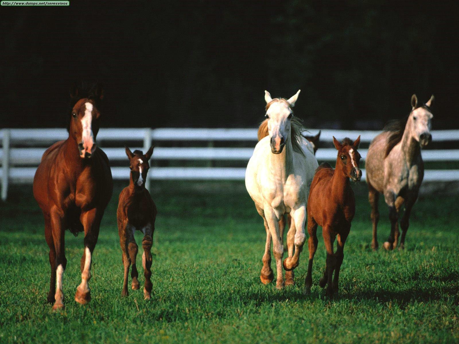 http://www.duiops.net/seresvivos/galeria/caballos/Animals%20Families_Romper%20Room,%20Arabian%20Horses..jpg