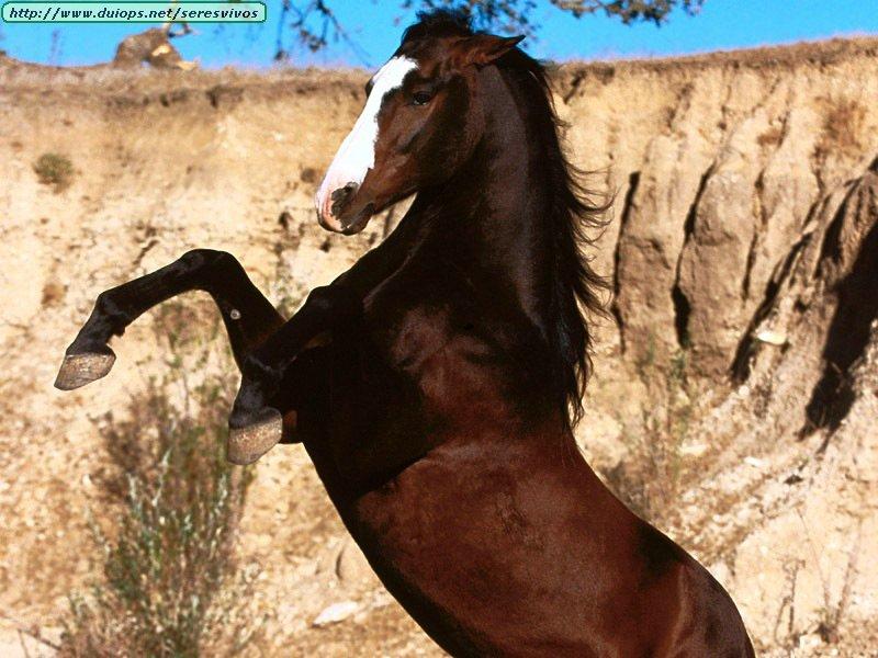 http://www.duiops.net/seresvivos/galeria/caballos/Animals%20Horses_%20Centauro%20ll%20,%20Azteca.jpg