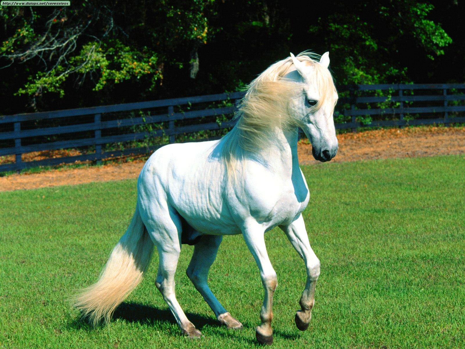 http://www.duiops.net/seresvivos/galeria/caballos/Animals%20Horses_%20El%20Murie%20,%20Paso%20Fino.jpg