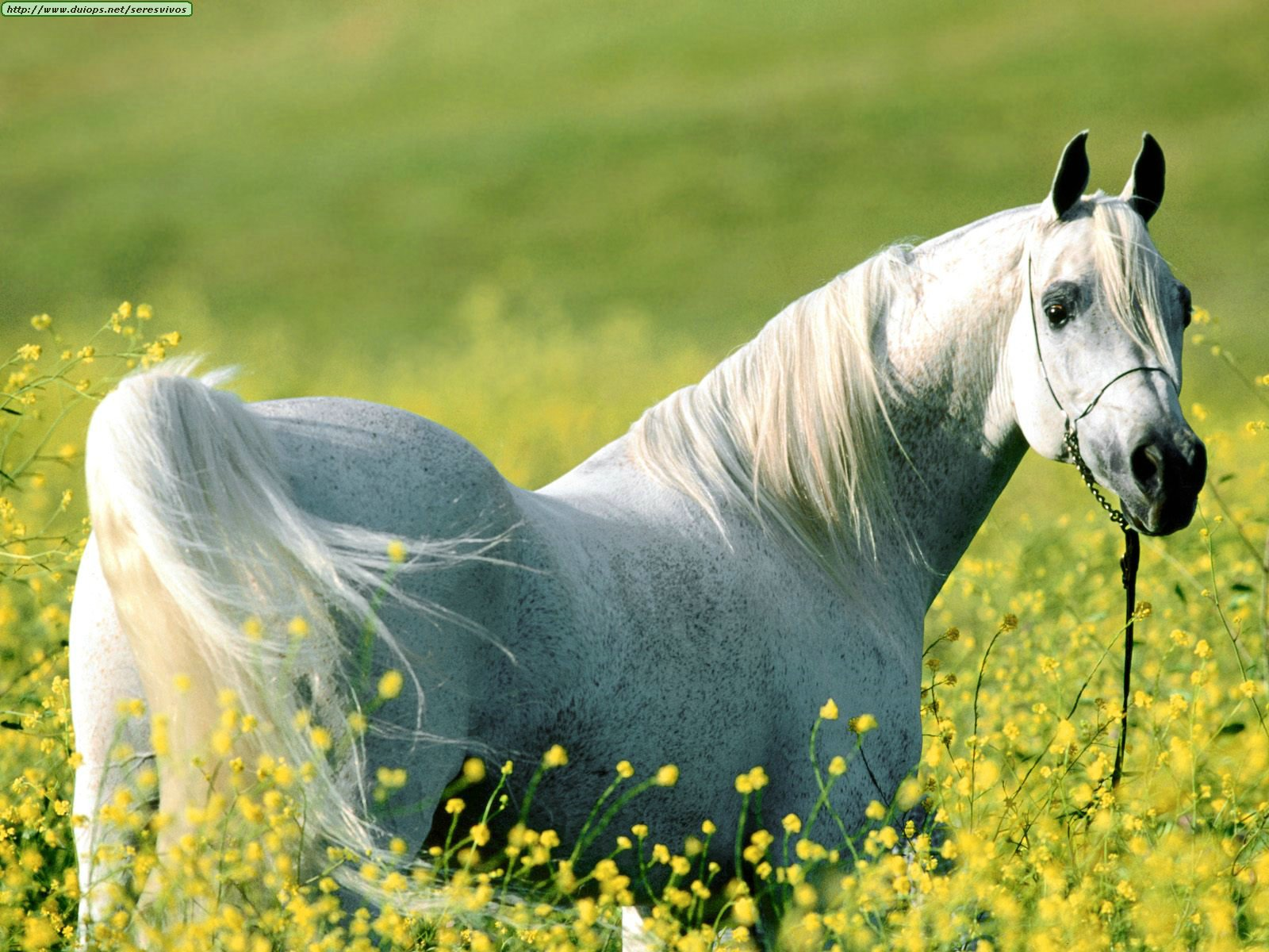 http://www.duiops.net/seresvivos/galeria/caballos/Animals%20Horses_Among%20the%20Fields%20of%20Gold,%20Arabian%20Stallion.jpg