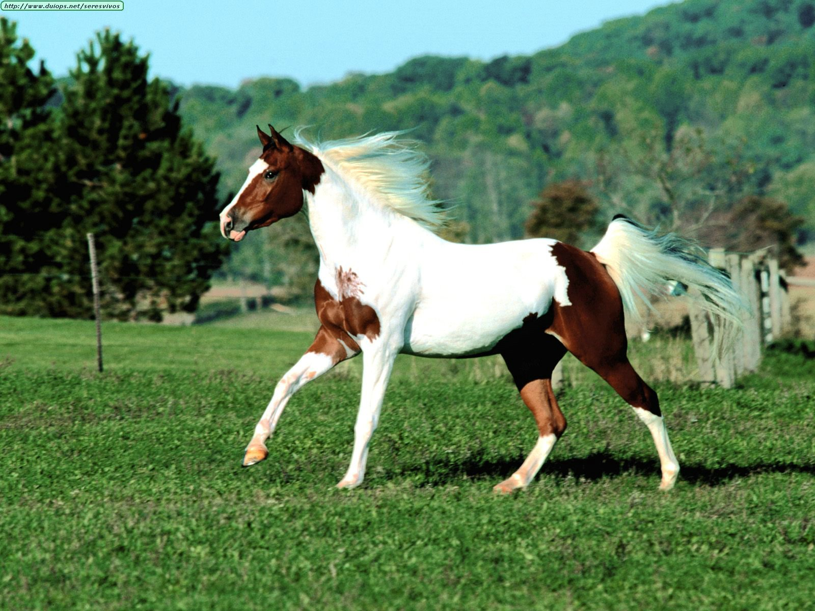 http://www.duiops.net/seresvivos/galeria/caballos/Animals%20Horses_Arab%20X%20Pinto.jpg