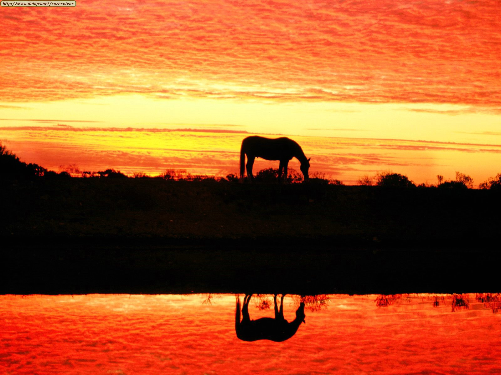 http://www.duiops.net/seresvivos/galeria/caballos/Animals%20Horses_Arabian%20Reflection.jpg