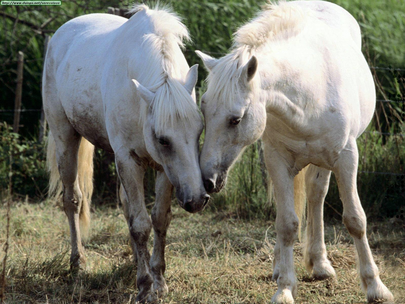 http://www.duiops.net/seresvivos/galeria/caballos/Animals%20Horses_Being%20Nosey.jpg