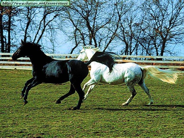 http://www.duiops.net/seresvivos/galeria/caballos/Animals%20Horses_Black%20and%20White%20Dance.jpg