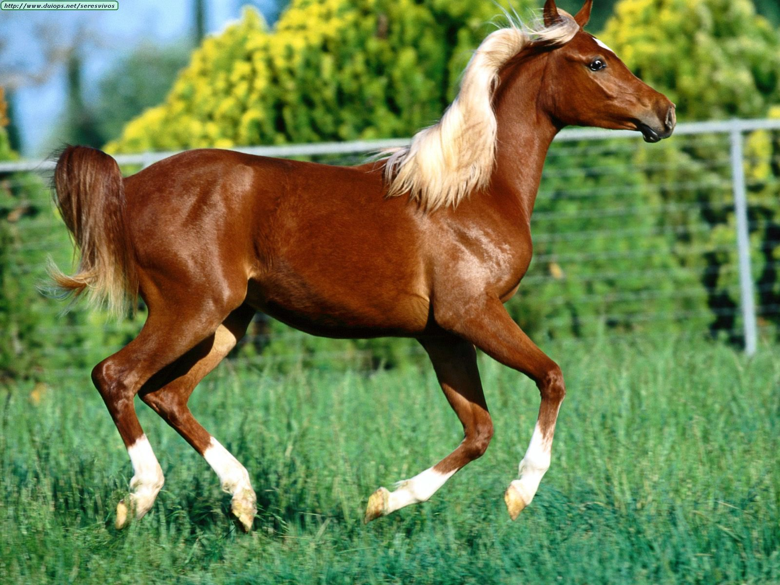 http://www.duiops.net/seresvivos/galeria/caballos/Animals%20Horses_Flames%20Flirt,%20Arabian%20Yearling.jpg
