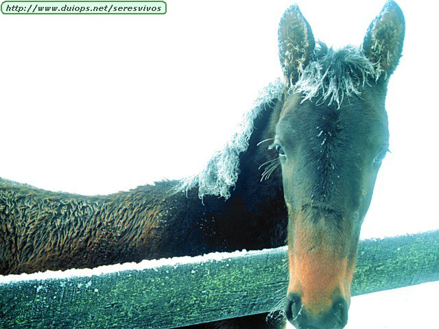 http://www.duiops.net/seresvivos/galeria/caballos/Animals%20Horses_Frosted%20Filly.jpg