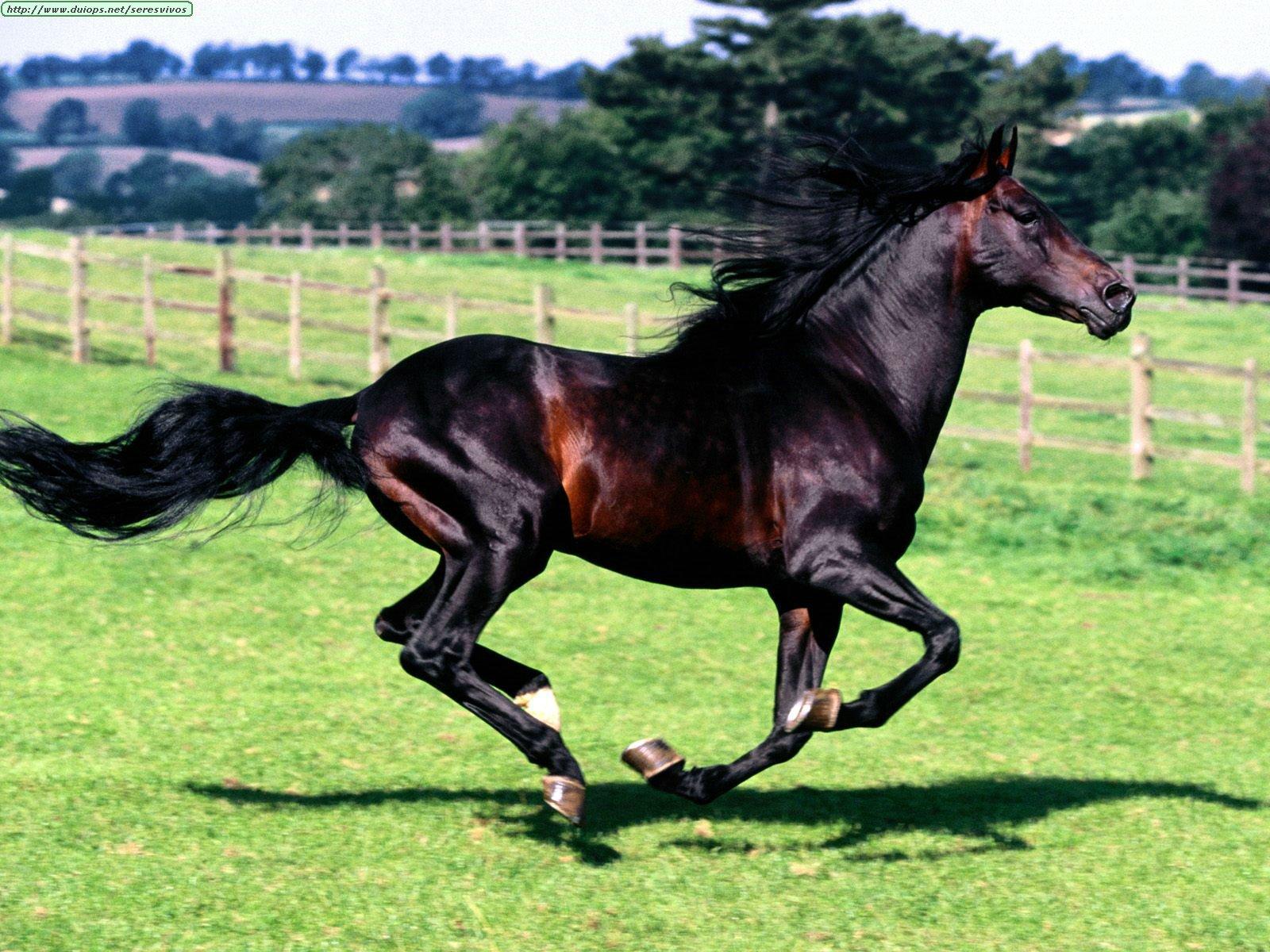 http://www.duiops.net/seresvivos/galeria/caballos/Animals%20Horses_Full%20Stride,%20Spanish%20Horse.jpg