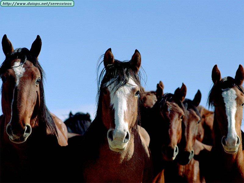 http://www.duiops.net/seresvivos/galeria/caballos/Animals%20Horses_Look%20Out.jpg