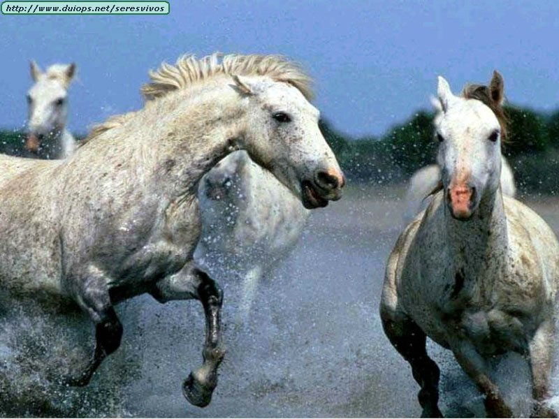 http://www.duiops.net/seresvivos/galeria/caballos/animales014.jpg