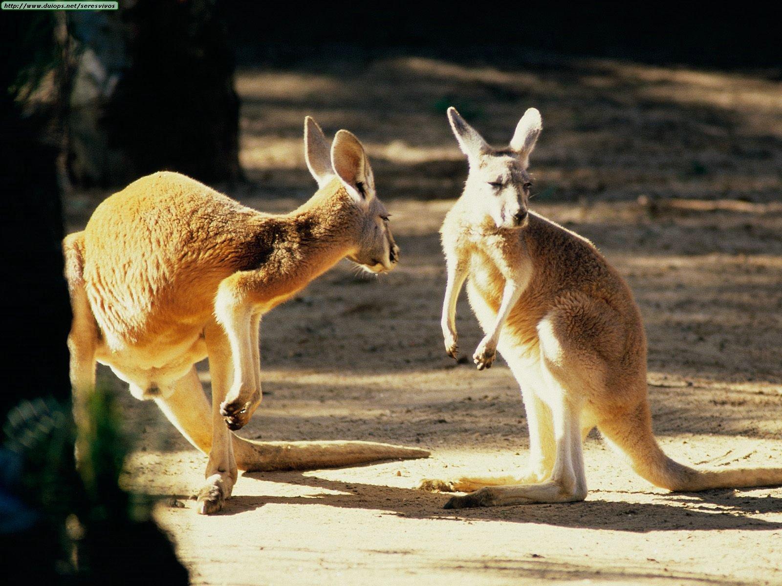 El Canguro  [Peligro de Extinción] - Salvemos el Planeta!