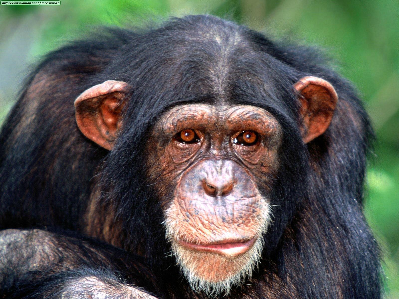 external image Animals%20Chimpanzees_All%20Ears,%20Chimpanzee.jpg