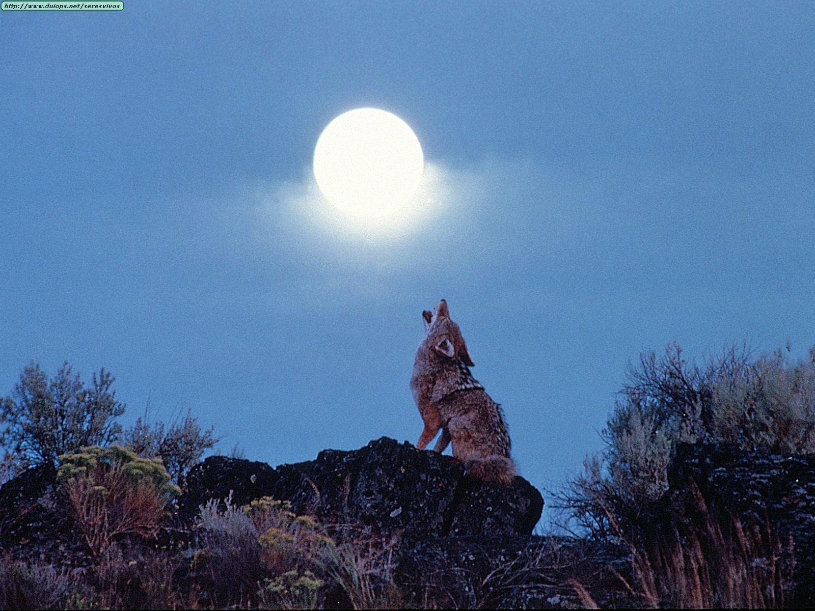 Fotos de coyotes  Fotos de coyote...
