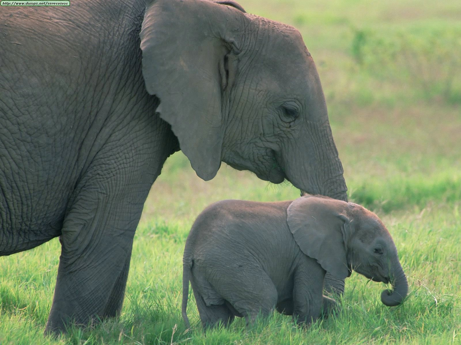 Θέλω μια φωτογραφία... - Σελίδα 11 African%20Elephants,%20Amboseli%20National%20Park,%20Kenya