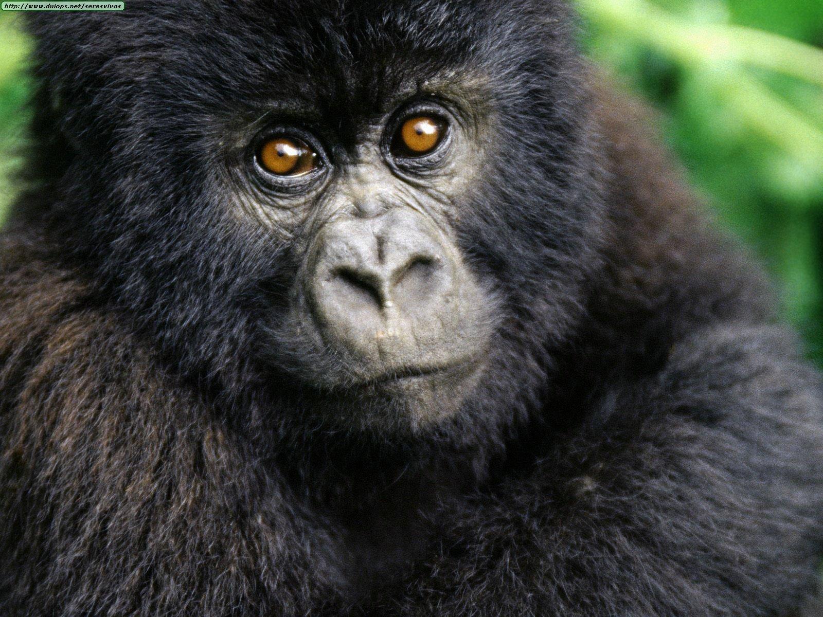 La isla de los gorilas enamorados. | Cajón de Sastre
