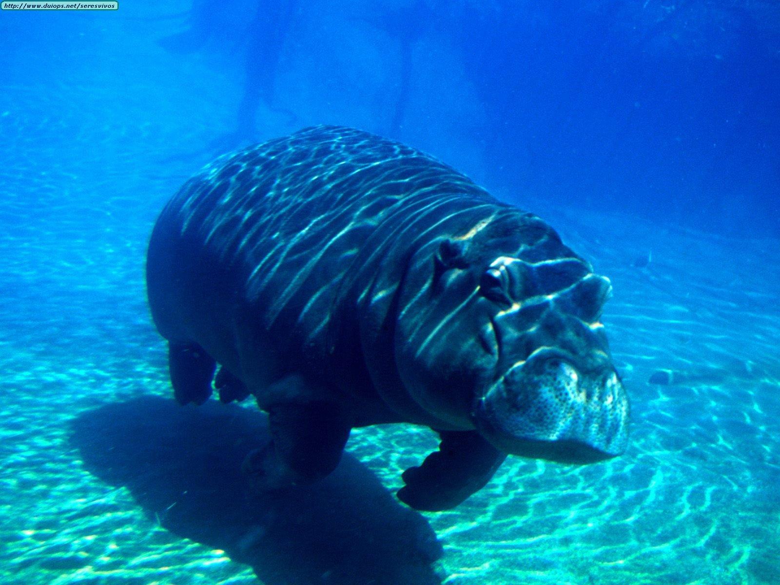 Hipopotamuses photos for Pond aquatics