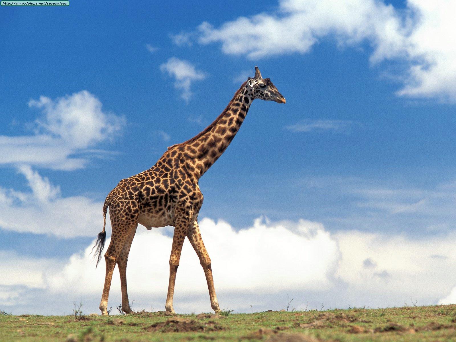African Animals Giraffe