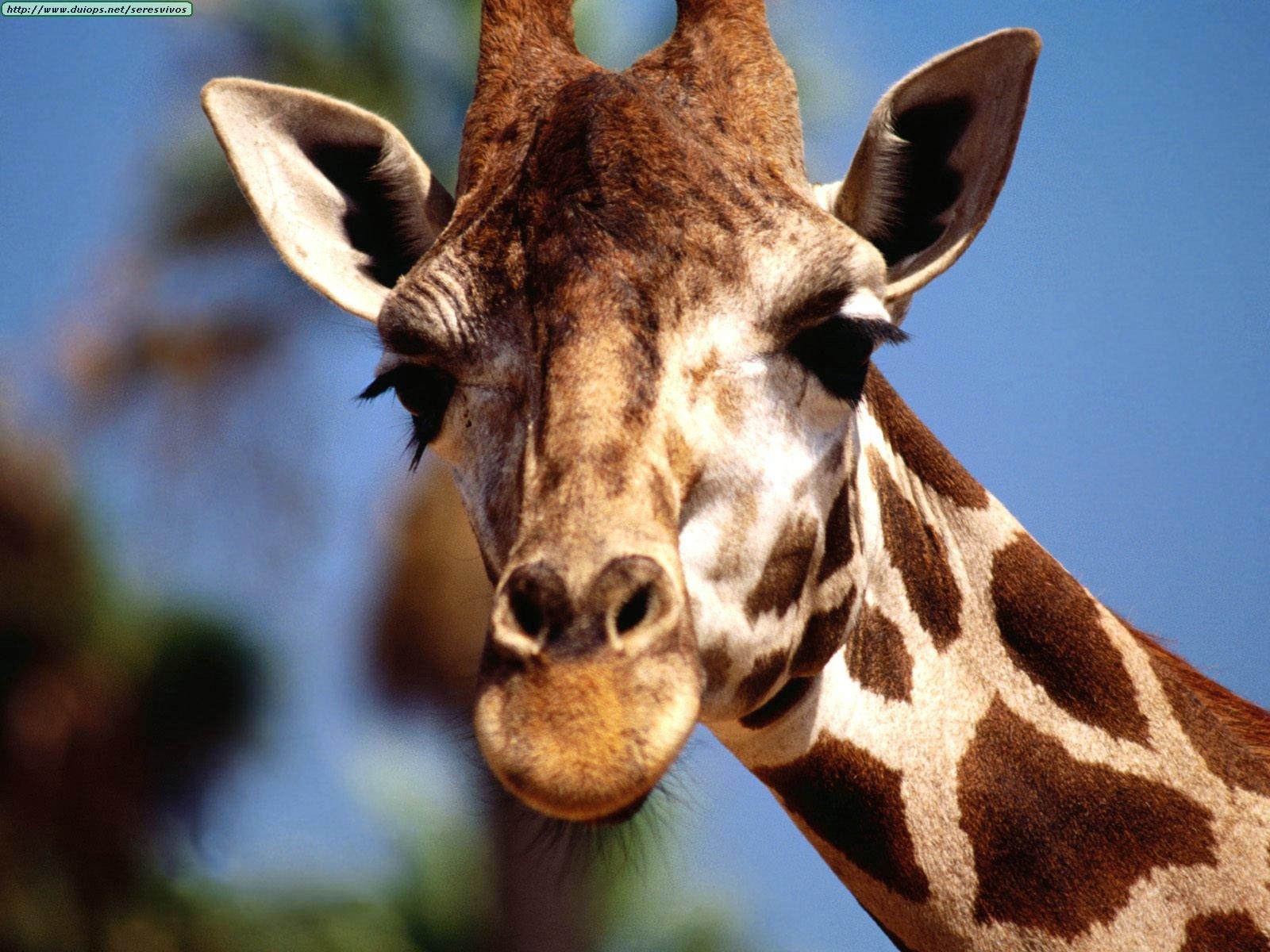 Animals%20Giraffes_Ready%20For%20My%20Close-Up.jpg