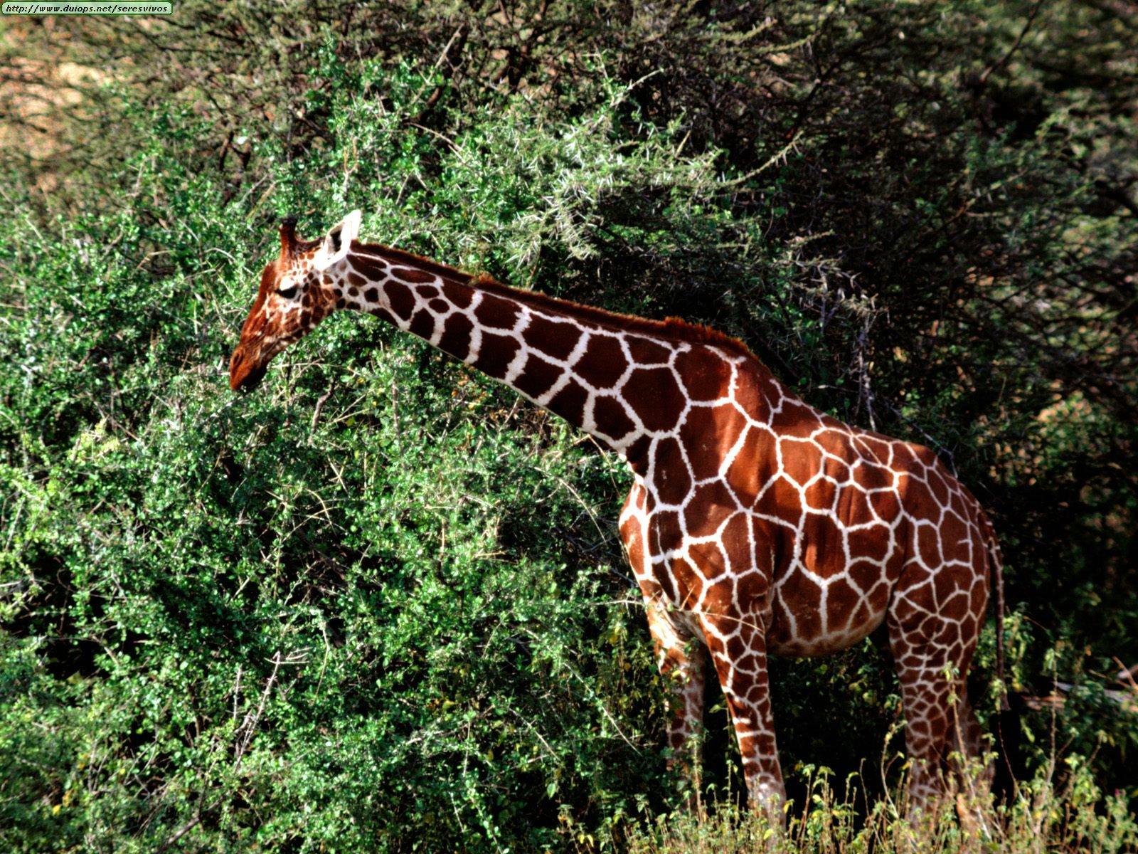 Fotos de jirafas for Taxonomia de la jirafa