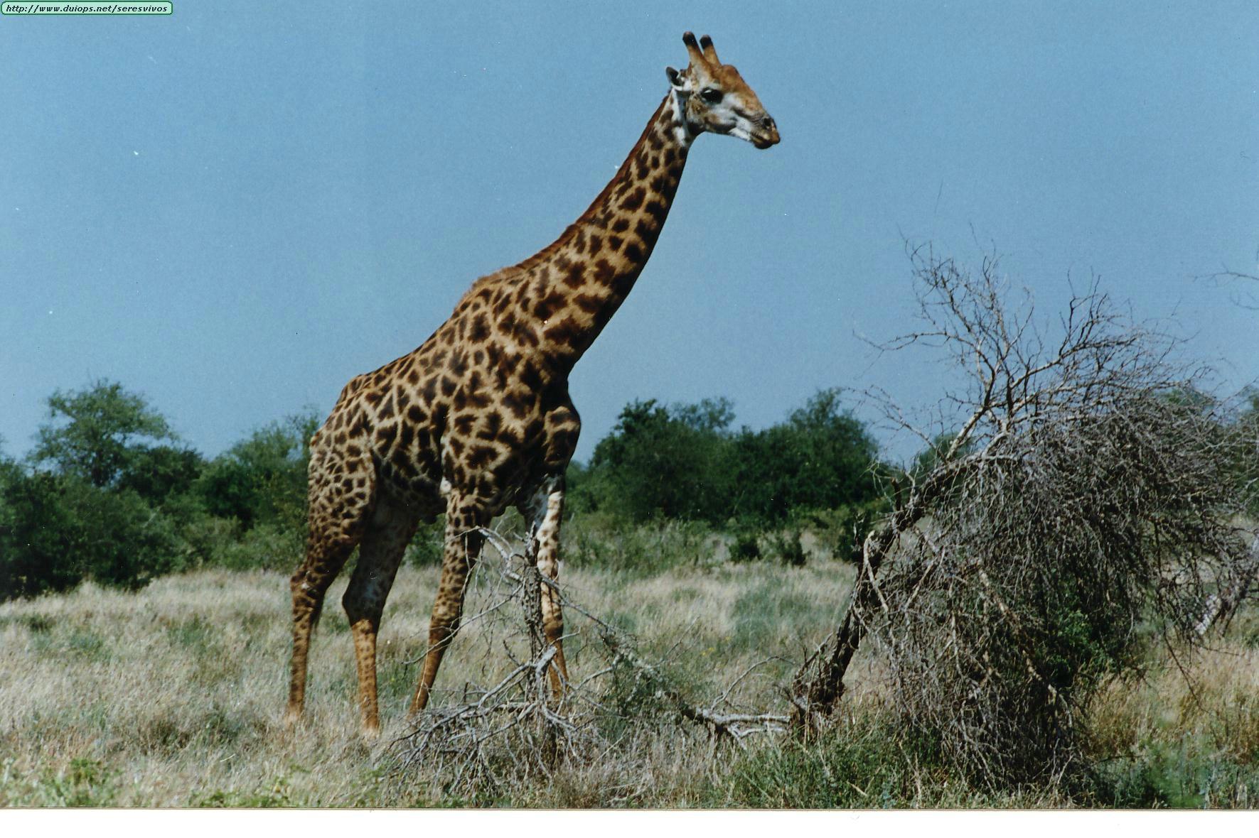 Fotos de jirafas