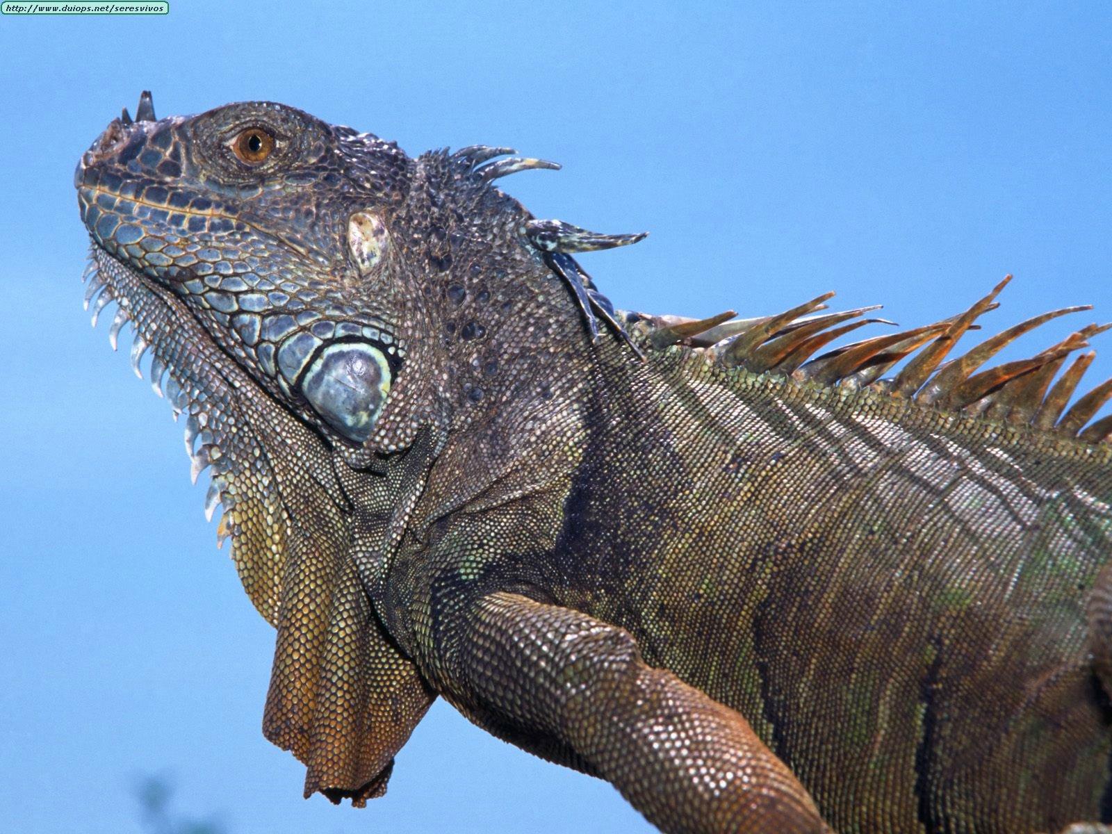 Fotos de lagartos e iguanas I