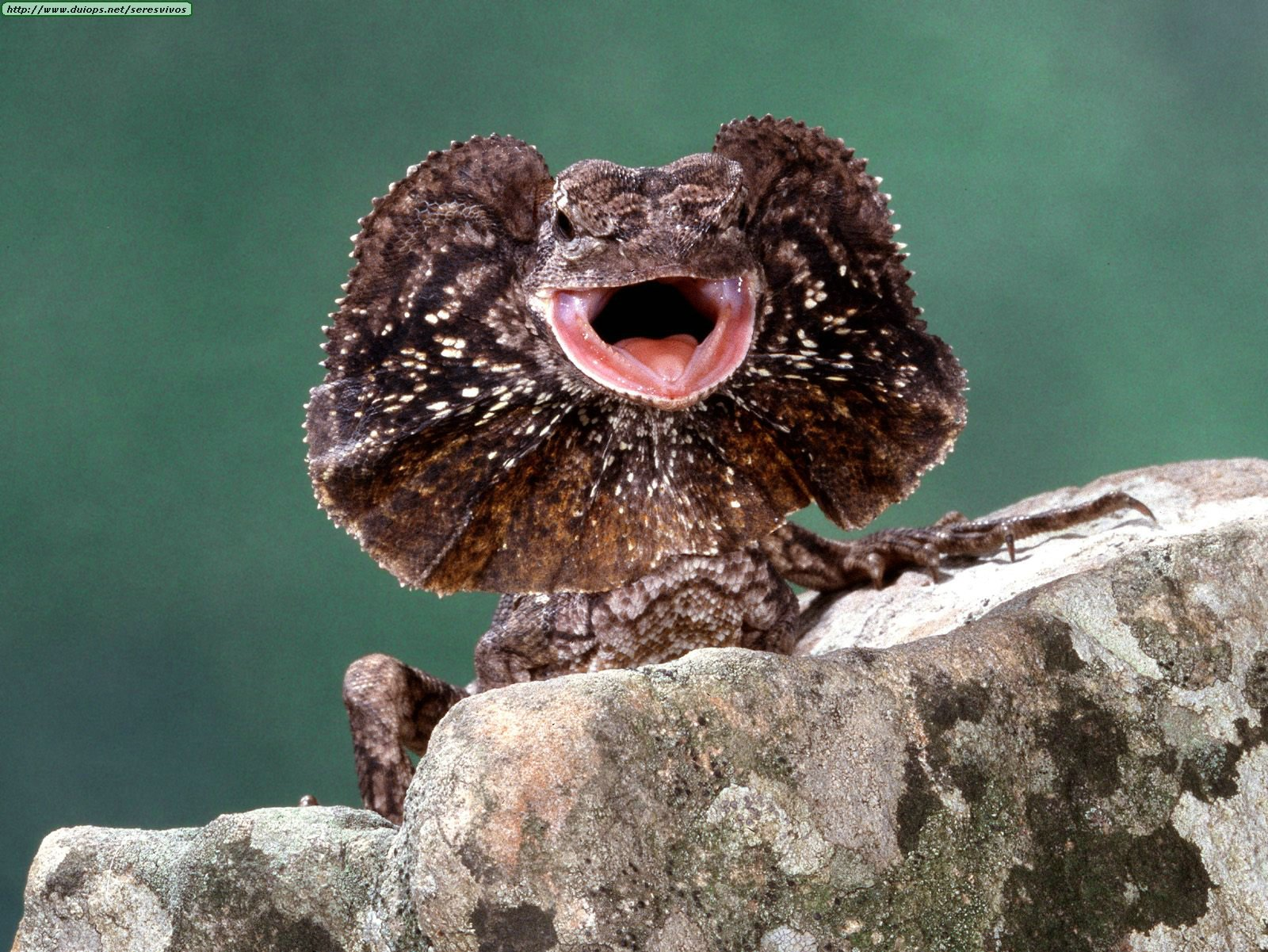 Animals%20Reptiles_Frilled%20Lizard.jpg