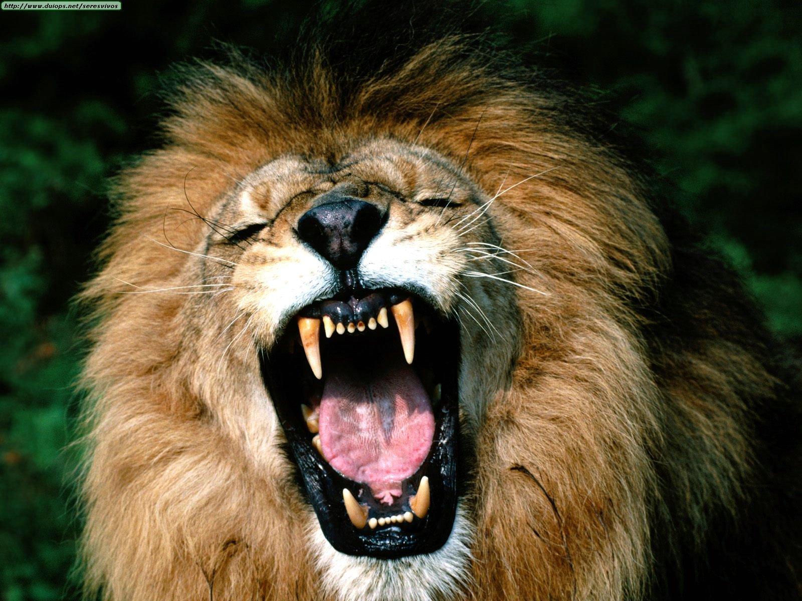 los leones, los reyes de la selva