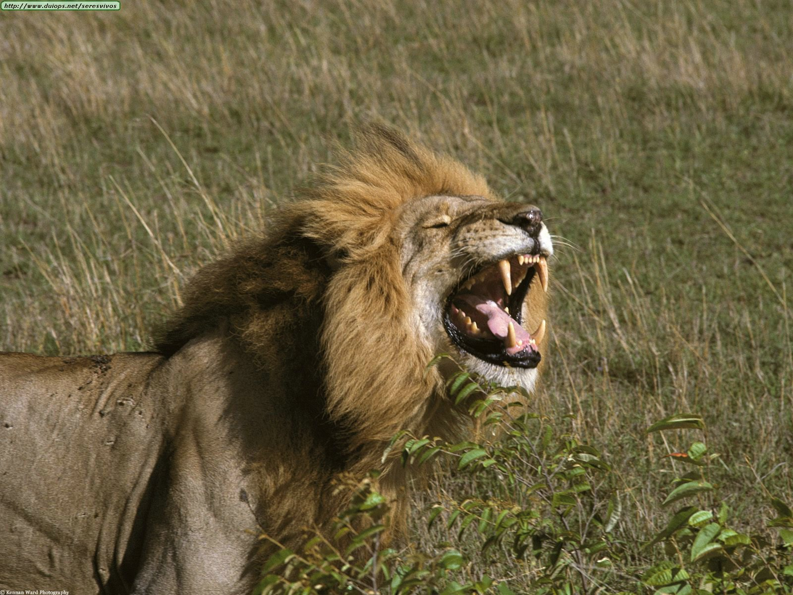 The%20King%20Of%20Smiles,%20African%20Lion,%20Tanzania,%20Africa