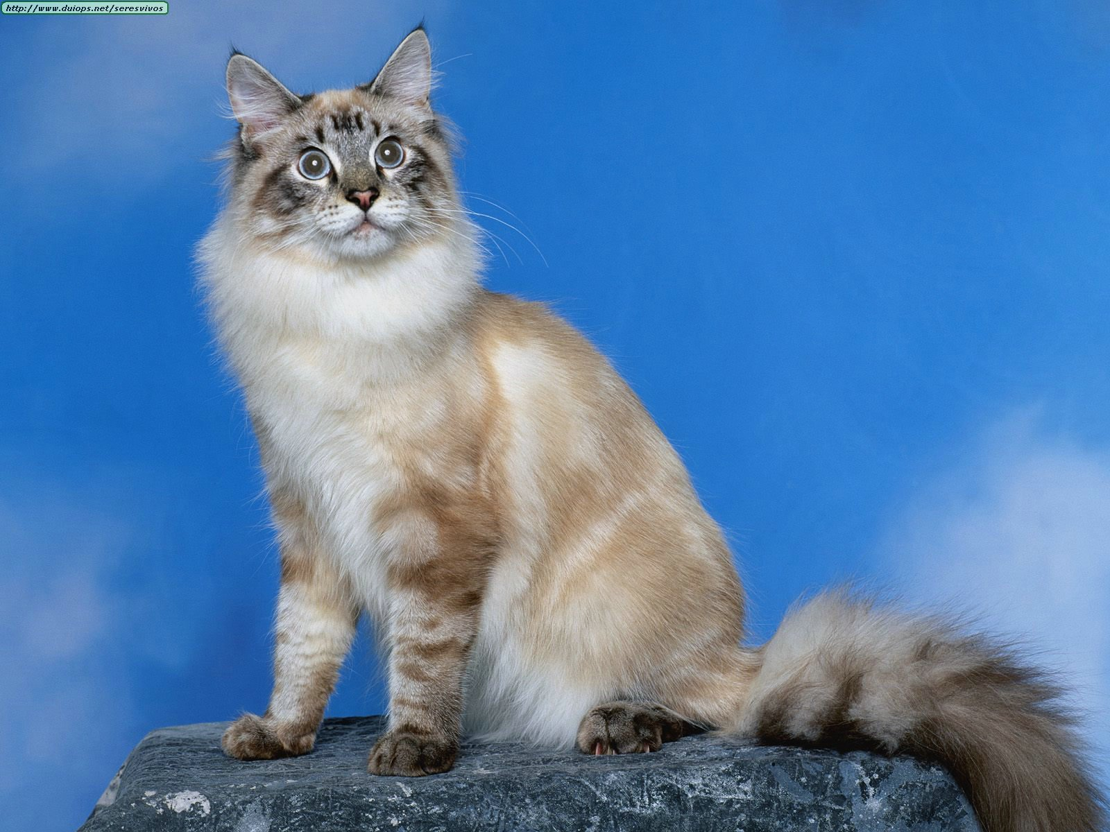 What does a himalayan cat look like