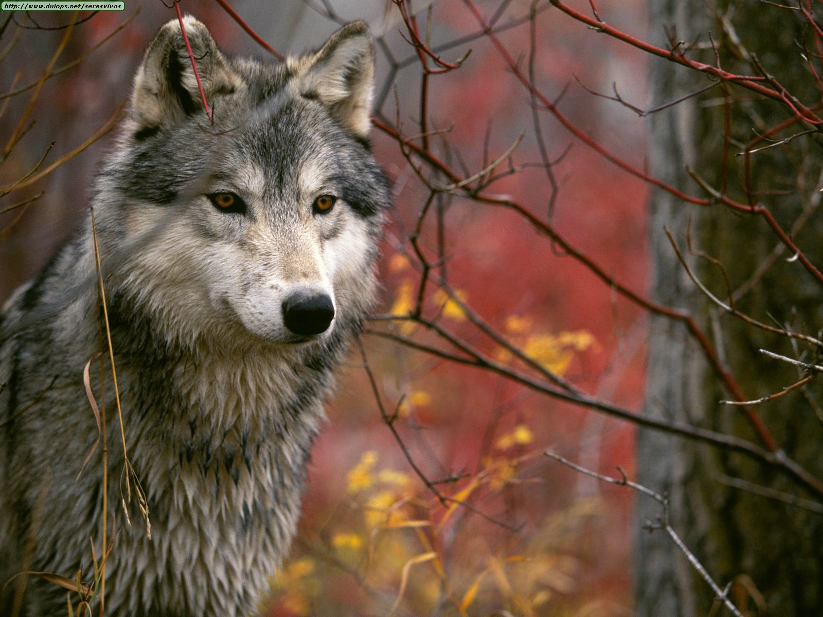 wolves photos  i