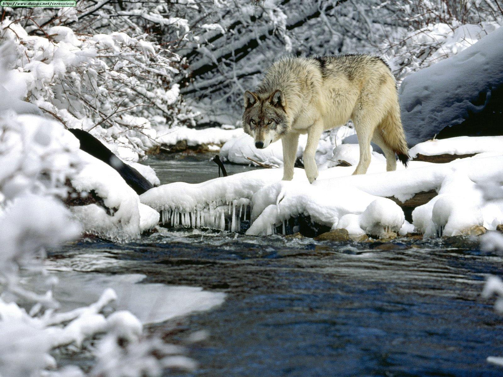 Волки фото 4.