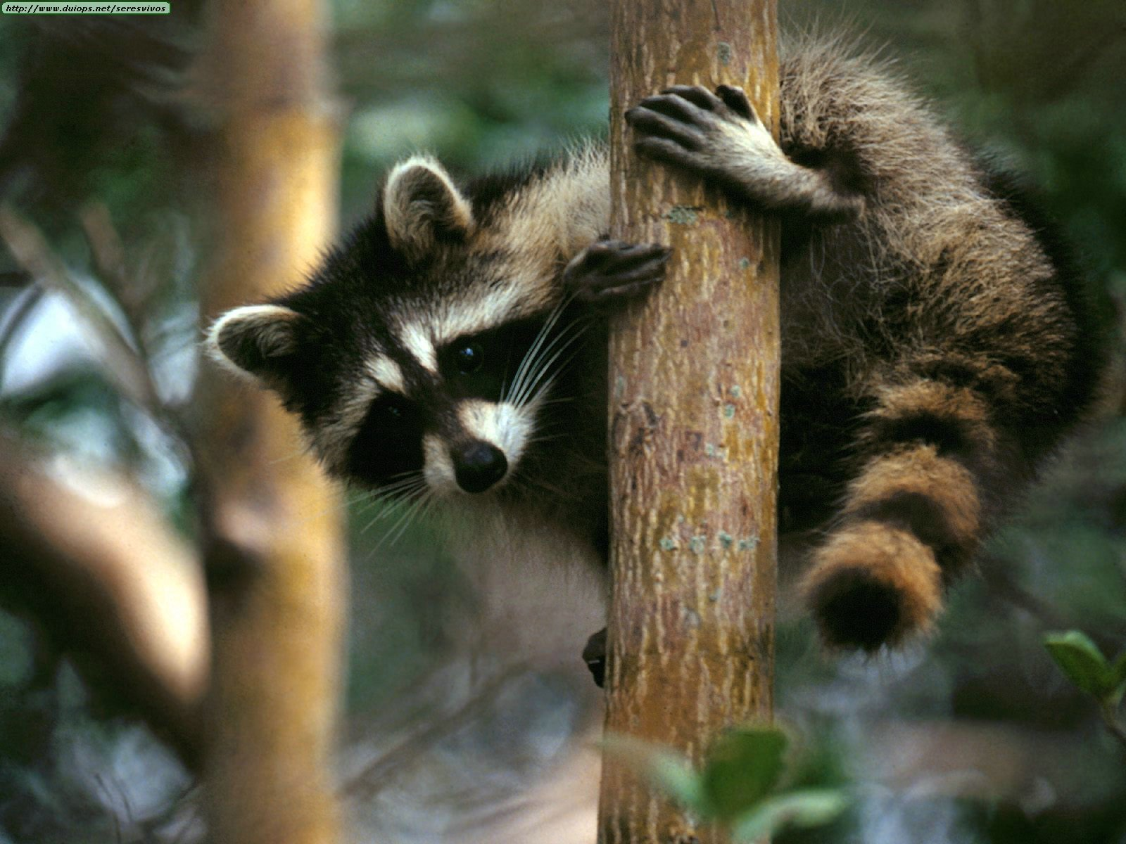 Raccoon National Geographic Pictures   Quality Images on