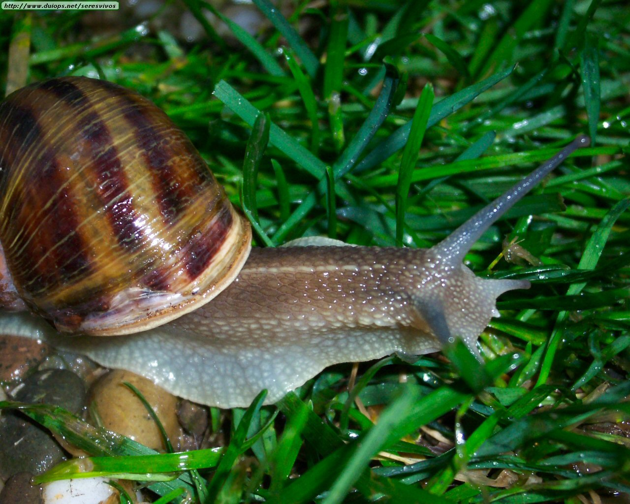 Fotos de moluscos for Caracol de jardin