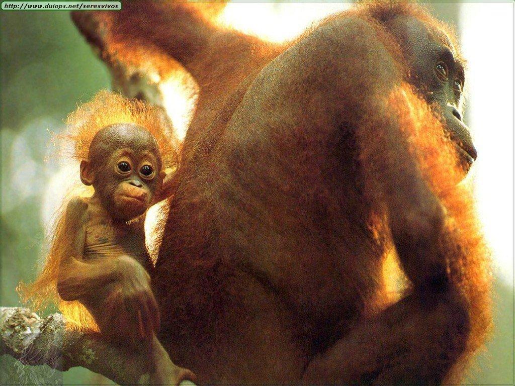 http://www.duiops.net/seresvivos/galeria/orangutanes/1275.jpg