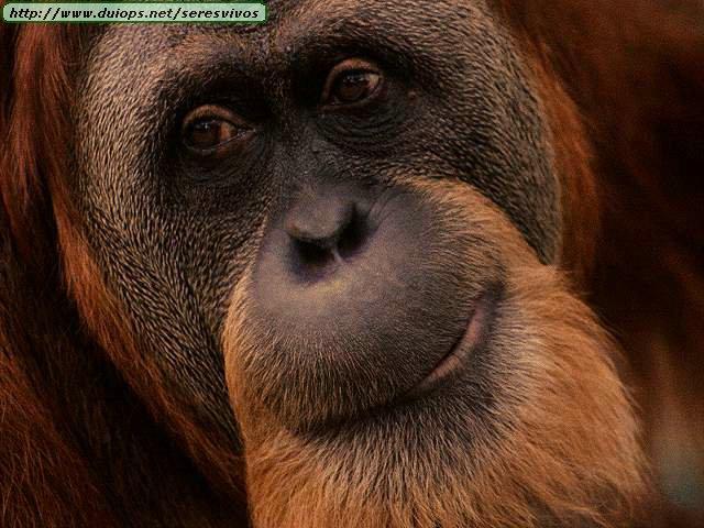 http://www.duiops.net/seresvivos/galeria/orangutanes/AK5.jpg