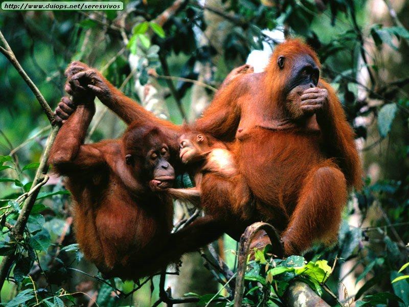 http://www.duiops.net/seresvivos/galeria/orangutanes/Animals%20Families_Family%20Tree,%20Sumatran%20Orangutans.jpg