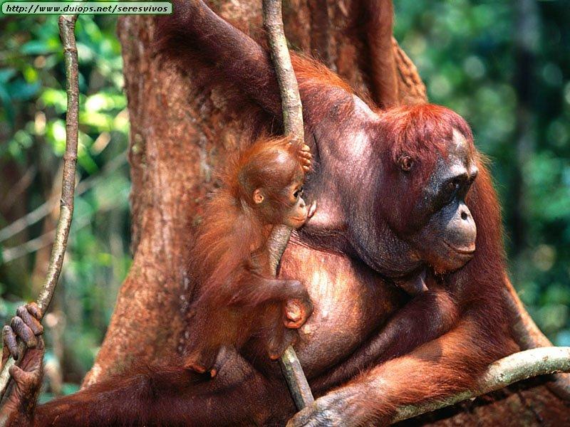 http://www.duiops.net/seresvivos/galeria/orangutanes/Animals%20Families_Training,%20Borneo%20Orangutans.jpg