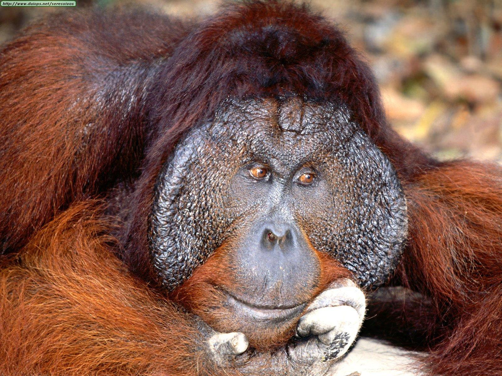 http://www.duiops.net/seresvivos/galeria/orangutanes/Animals%20Orangutans_Daydreaming,%20Bornean%20Orangutan.jpg