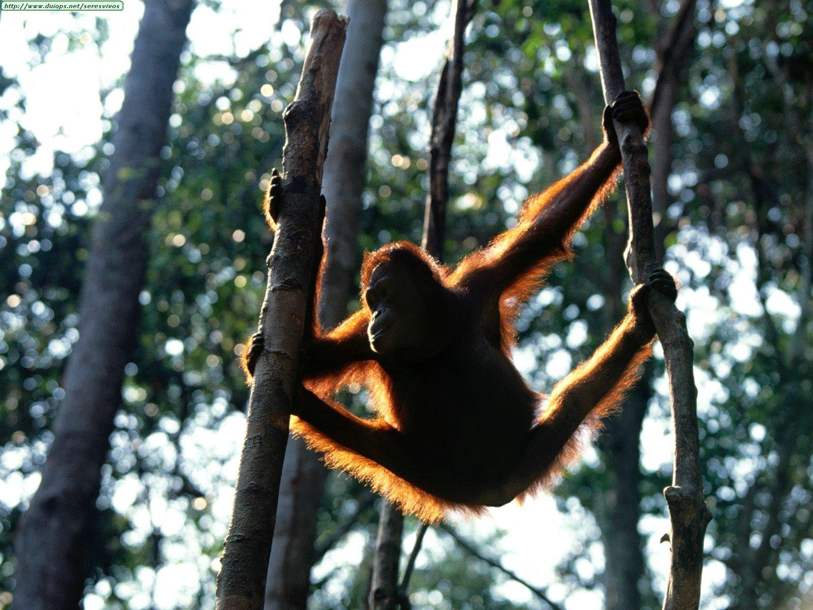 http://www.duiops.net/seresvivos/galeria/orangutanes/Animals%20Orangutans_Hang%20Time,%20Bornean%20Orangutan.jpg