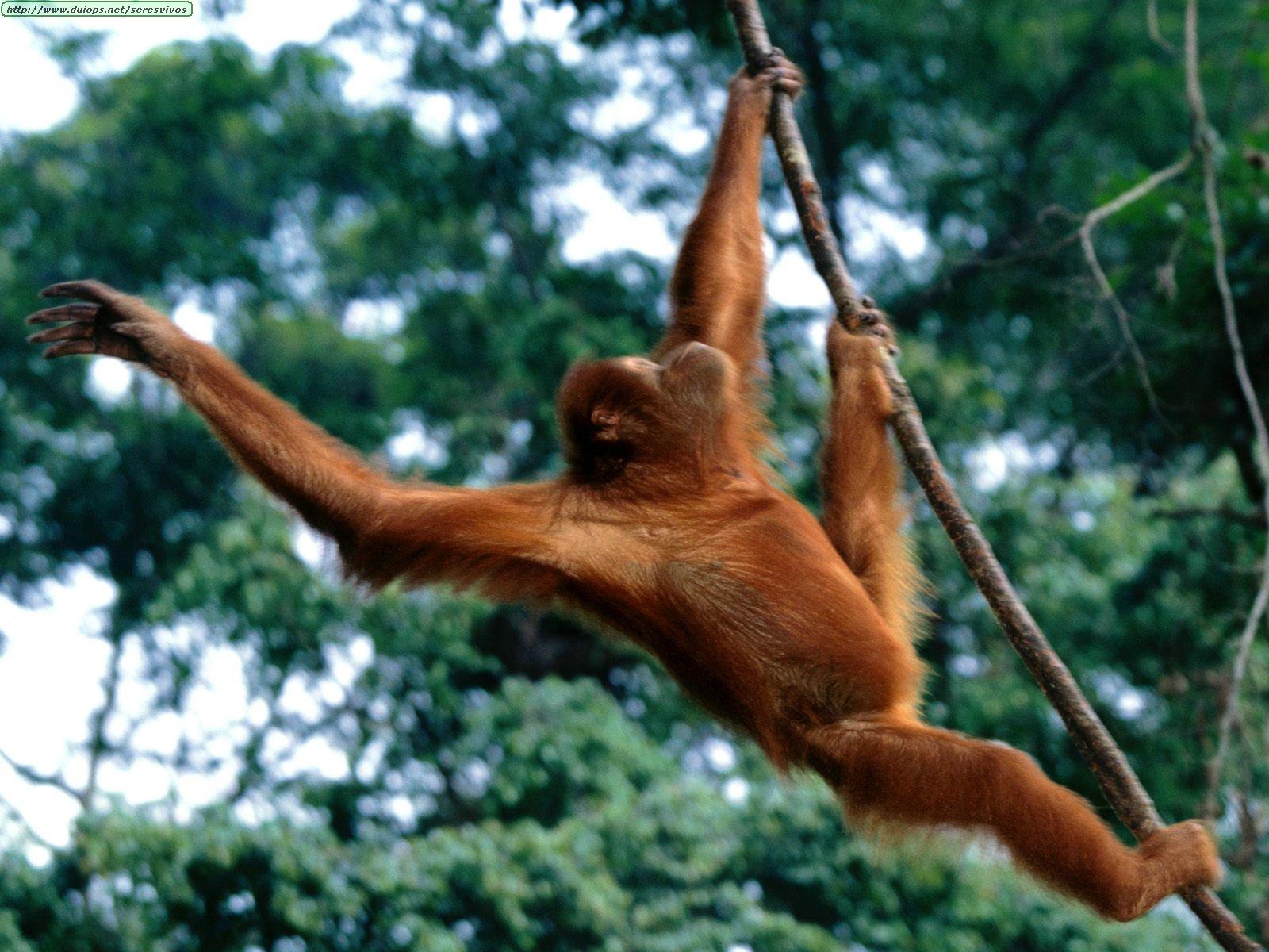 http://www.duiops.net/seresvivos/galeria/orangutanes/Animals%20Orangutans_Just%20Hanging%20Out,%20Sumatran%20Orangutan.jpg